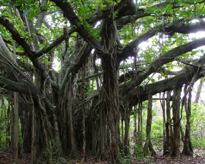 The author's memory of what the tree looked like - not the actual banyan.