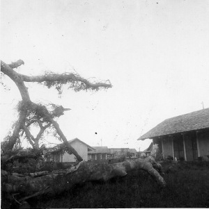 The banyan tree goes down. (photo courtesy of Richard Carter)